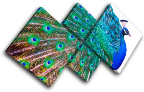 Peacock Feathers Animals - 13-0970(00B)-MP19-LO